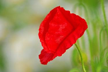Bild mit Grün, Blumen, Rot, Mohn, Mohnblume, Makro, Mohnblumen, Solo