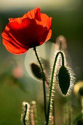 Bild mit Blumen, Mohnblume, Felder, Sonnenstrahlen, Wiesen, Abendlicht, Idylle, Letzte_Sonnenstrahlen, Seitenlicht, Einsam, Alleine