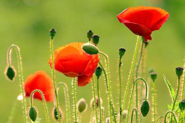 Bild mit Blumen, Mohnblume, Samenstände, Blütenstände, Knospen