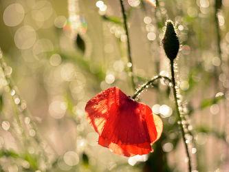 Bild mit Blumen, Mohn, Mohnblume, Feld mit Mohnblumen, Mohnblüte, Gegenlicht, Mohnblumen, Abendsonne, mohnblüten