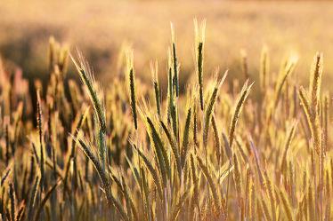 Bild mit Herbst, Wiese, Nahrung, Feld, Felder, Wiesen, Weide, Weiden, Roggen, Abendgegenlicht