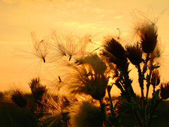 Bild mit Himmel, Blumen, Sonnenuntergang, Disteln, Sonnenaufgang, Sonne, Blume, Ruhe, Distel, Abend, Abendsonne, Stranddistel, Samen, Flugsamen
