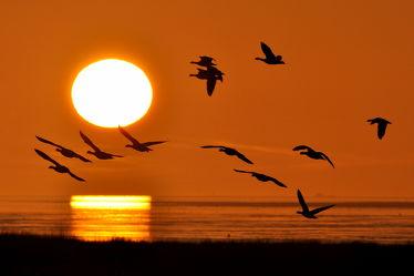 Bild mit Abendrot, Enten, Gänse, Sonne, Strand, Meer, Gegenlicht, Ruhe, Am Meer, Wattenmeer, Nacht, Abendsonne, Watt, Zugvögel, Sonnenrot, Ufer, Naturschutzgebiet