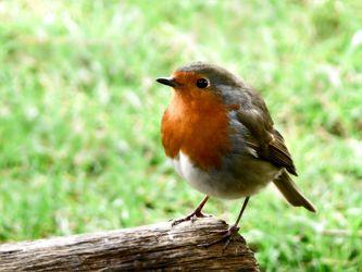 Bild mit Grün, Winter, Wälder, Weiß, Parks, Parks, Rot, Vögel, garten, Rotkehlchen, Defus, Standvogel, Erithacus_rubecula, Waldvogel