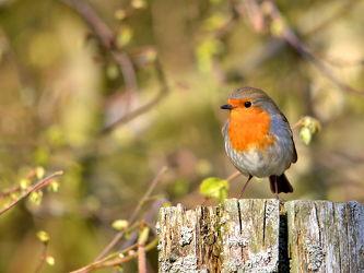 Bild mit Vögel, Sonne, Licht, frühjahr, Rotkehlchen, Erithacus_rubecula