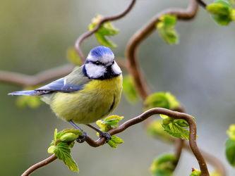 Bild mit Vögel, Sonne, Licht, Ruhe, Strauch, Futter, Fressen, Schutz, Meise, Mahl, Blaumeise, Parus_caeruleus