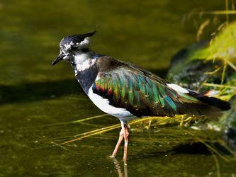 Bild mit Vögel, Watvögel, Felder, Wiesen, Feuchtgebiete, Kiebitz, Vanellus_vanellus, Futtersuche, Flußufer