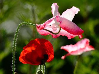 Bild mit Kunst, Grün, Blumen, Weiß, Rot, Mohn, Gegenlicht, Abendsonne, Naturkünstler, Kunstvoll