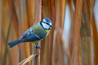 Bild mit Blau, Vögel, Braun, Schilf, Hintergrund, Gras, Gestreift, Blaumeise, Singvögel, Meisen, Binsengras, Cyanistes_caeruleus