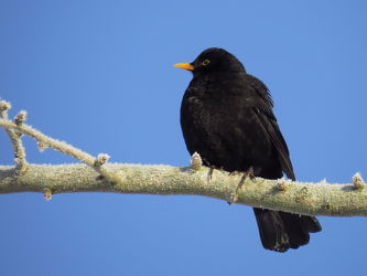 Bild mit Schwarz, Vögel, Amsel, Turdus_merula, Schwarzgrau