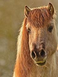 Bild mit Tiere, Säugetiere, Pferde, Pferde, Tier, Kinderbild, Kinderbilder, Pferd, reiten, Haustier, Tarpan, Rückzüchtung_europäisches_Wildpferd, Wildpferd, Pferdeliebe, pferdebilder, pferdebild