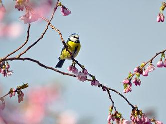Bild mit Bäume, Parks, Frühling, Vögel, Vögel, Sonne, Licht, Blüten, garten, Sonnenstrahlen, Wärme, Abendsonne, Zierkirsche, Blaumeise, Parus_caeruleus