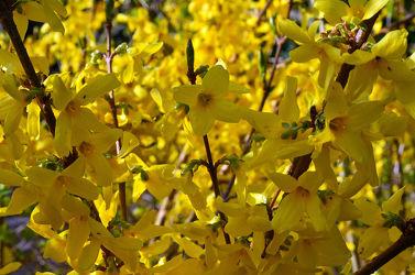 Bild mit Gelb, Frühling, Frühling, Forsythie
