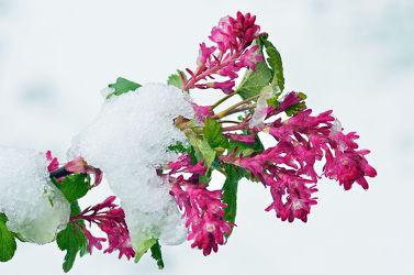 Bild mit Grün,Weiß,Frühling,Rot,garten,Frühlingstag,Eisheiligen,Zierjohannesbeere