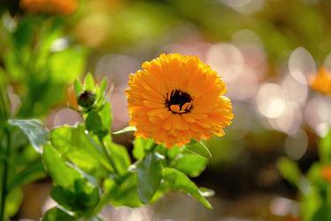 Bild mit Pflanzen,Blumen,Frühling,Makro,Gegenlicht,garten,Ringelblumen