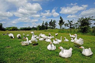 Bild mit Himmel, Wolken, Vögel, Vögel, Gänse, Felder, Wiesen, Landgeschnatter, Tierhaltung, Freilauf, Ökohaltung, Landluft