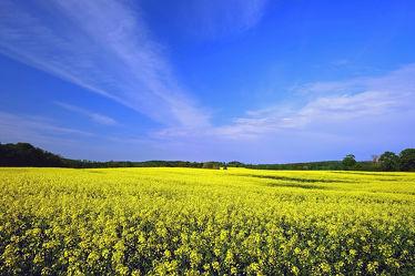 Bild mit Gelb, Landschaften, Landschaften, Himmel, Hügel, Wolken, Weiß, Blau, Raps, Sonnenschein, Naturpark_Westensee, Knicks, Rapsfelder, Baumreihen