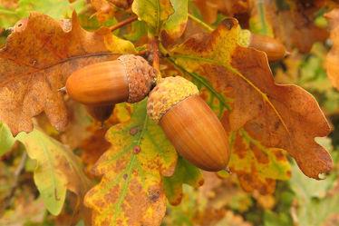 Bild mit Bäume,Früchte,Herbst,Braun,Blätter,Makro,Buchen,Makros,nahaufnahme,Futter,Eckern,Tiernahrung