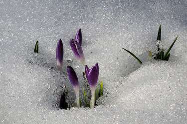 Bild mit Natur, Grün, Pflanzen, Blumen, Weiß, Frühling, Frühling, Blau, Sonne, Blätter, Blüten, Krokusse, nahaufnahme, frühjahr, Kälte, Frost, Wärme, Leben, Erwachen, Hagel