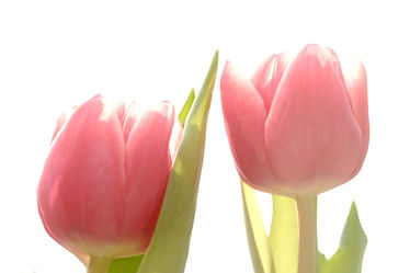 Bild mit Blumen, Frühling, Frühling, Tulpen