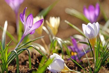 Bild mit Gelb, Natur, Grün, Blumen, Parks, Frühling, Frühling, Blau, Sonne, Makro, Licht, Felder, garten, Krokusse, nahaufnahme, Wiesen, Wärme, Ausspannen, Liegend, Wachstum, Sprößlinge, Sproß, Blühend, Stehend
