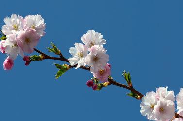 Bild mit Orange, Himmel, Frühling, Blau, Braun, Azur, Japanische_Zierkirsche