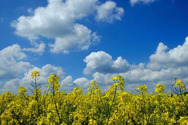 Bild mit Gelb, Grün, Pflanzen, Landschaften, Himmel, Wolken, Weiß, Blau, Raps, Ausspannen, Wind, Luft