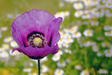 Das Wildblumenbeet