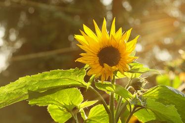 Bild mit Blumen,Sonne,Blume,Gegenlicht,Sonnenblume