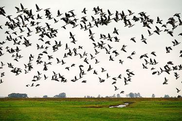 Bild mit Himmel, Dämmerung, Vögel, Gänse, Felder, Wiesen, Naturschauspiel, Blaue_Stunde, Erde, Deiche, Nachtlager