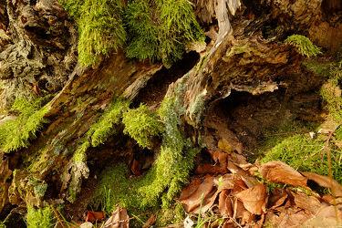 Bild mit Natur, Bäume, Wälder, Herbst, Wege, Kräuter, Wald, Baum, Weg, Moose, Moos, Leben, lebensraum