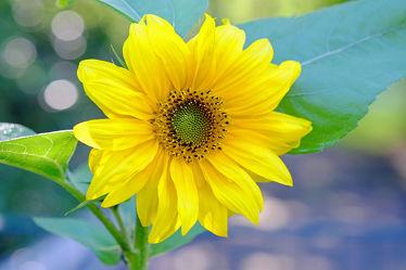 Bild mit Gelb, Grün, Pflanzen, Himmel, Blumen, Herbst, Herbst, Blau, Sommer, Blätter, Sonnenblume, Ausspannen, Dekoration, Blumenvase, Tischschmuck