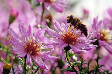 Bild mit Natur, Pflanzen, Blumen, Herbst, Insekten, Makro, Wassertropfen, Regentropfen, Tropfen, herbstblumen, nahaufnahme, Biene, Honigbiene, Blaue Herbstastern