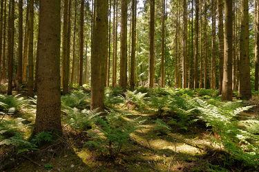 Bild mit Grün, Bäume, Braun, Wald, Nadelwald, Licht, Sonnenlicht, Ausspannen, Farne. Farn