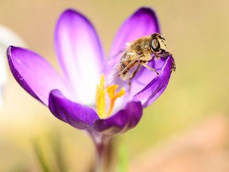 Bild mit Tiere, Frühling, Insekten, Bienen, Fliegen, Sonne, Licht, Krokusse, frühjahr, Wärme, Tierwelt, Biene, Honig, Honigbiene