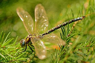 Bild mit Tiere, Insekten, Flügel, Sonne, Fichten, Libellen, Tierwelt, Libelle, Fichtensitz