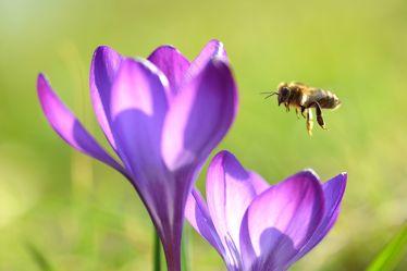 Bild mit Frühling, Bienen, Sonne, Makro, Gegenlicht, Licht, garten, Krokusse, frühjahr, Biene, Honig, Honigbiene