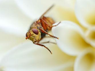 Bild mit Augen, Blumen, Weiß, Insekten, Hautflügler, Sommer, Fliegen, Makro, summer, Stecher, Quäler