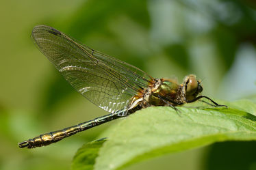 Bild mit Grün, Blätter, Makro, Libellen, Odonata, Libelle, Gemeine Smaragdlibelle, Cordulia aenea, Falkenlibellen, Corduliidae