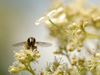 Bild mit Pflanzen,Blumen,Bienen,Blume,Pflanze,Nahrung,Pollen,Futter,Brut,Nachwuchs,Kletterhortensie,Honig,Honigbiene