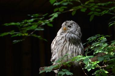 Bild mit Vögel, Vögel, Tierwelt, Nachtvogel, Waldkauz, Nachtaktive