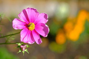 Bild mit Grün,Blumen,Rosa,Herbst,cosmea,Blüten,Herbststimmung,Stimmung