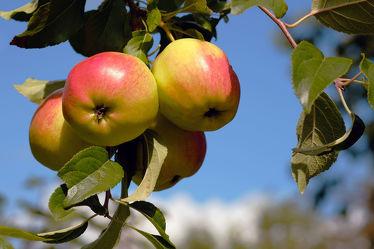 Bild mit Herbst,Obst,Gemüse,Apfel,Extras,GENUSS,Geniessen,Saft,Marmelade,Gelee,Frühstück