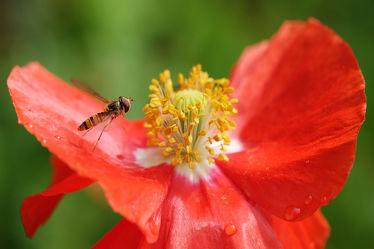 Bild mit Weiß, Rosa, Rot, Herbst, Insekten, Insekten, Sommer, Mohn, Sonnenschein, Makro, Schwebfliege