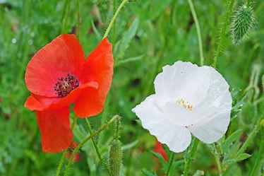 Bild mit Grün, Blumen, Weiß, Frühling, Rot, Herbst, Sommer, Mohn