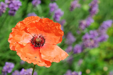 Bild mit Pflanzen, Blumen, Rosa, Rot, Lavendel, Blau, Mohn