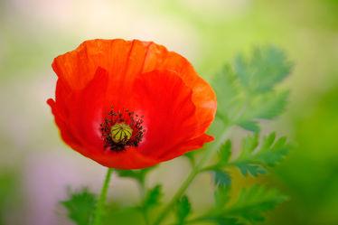 Bild mit Grün,Frühling,Rot,Herbst,Sommer,Mohn,blüte,FARBE,nahaufnahme,Dezent,Kontraste