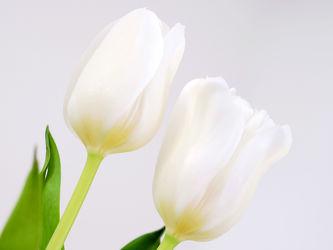 Bild mit Grün, Weiß, Frühling, Blätter, Tulpen, Ausspannen, Dekoration