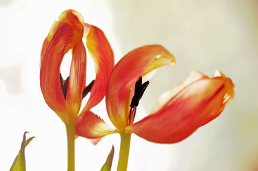 Bild mit Grün,Frühling,Tulpe,Bunt,farbig,Ausspannen,Dekoration,Verblüht