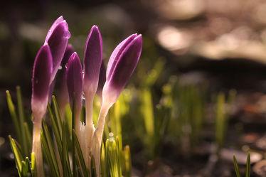 Bild mit Grün, Blumen, Lila, Frühling, blüte, Krokusse, Abendlicht, Geschlossen